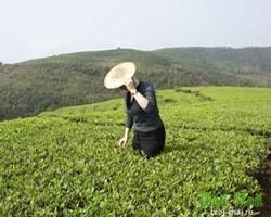 желтый чай для похудения отзывы