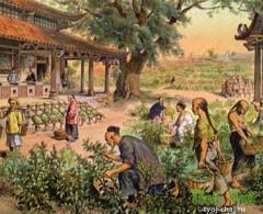 Заготовка сырья для красного китайского чая
