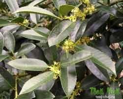 Зеленый чай кудин
