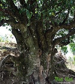 Старое чайное дерево