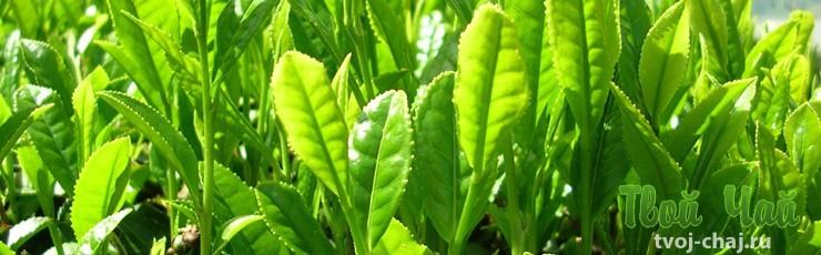 Лепестки зеленого чая